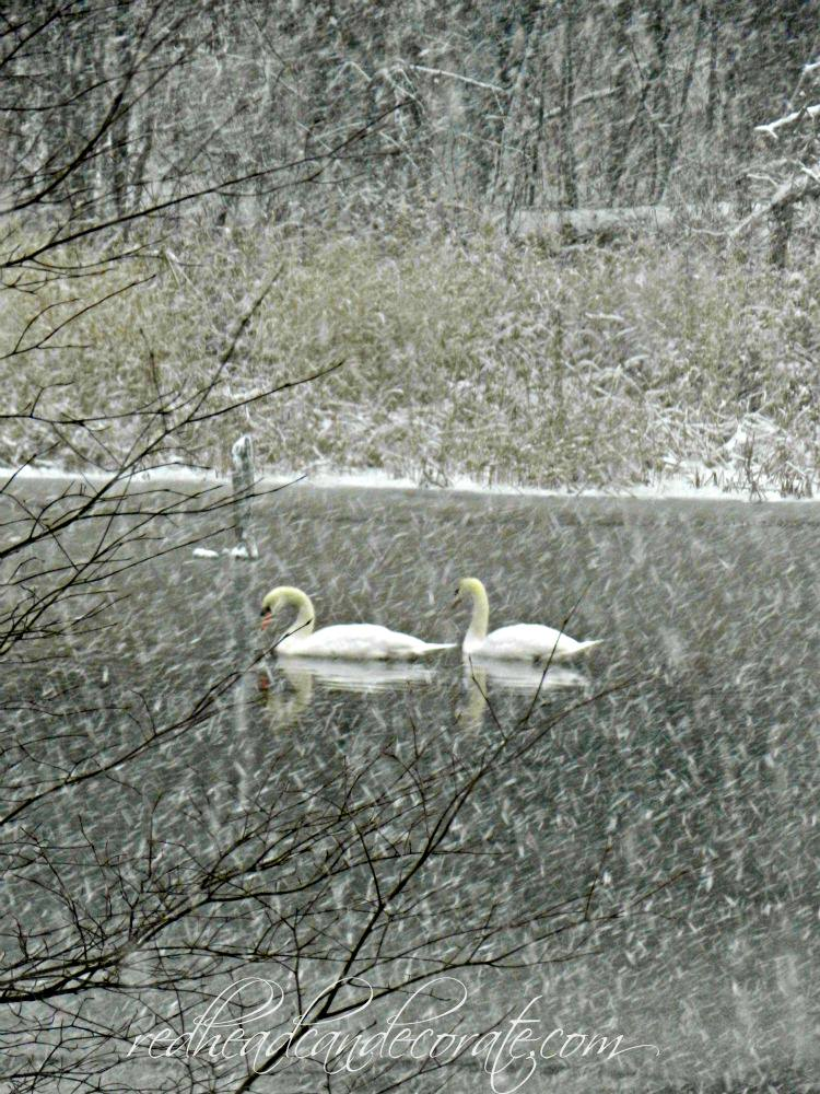 swans in winter