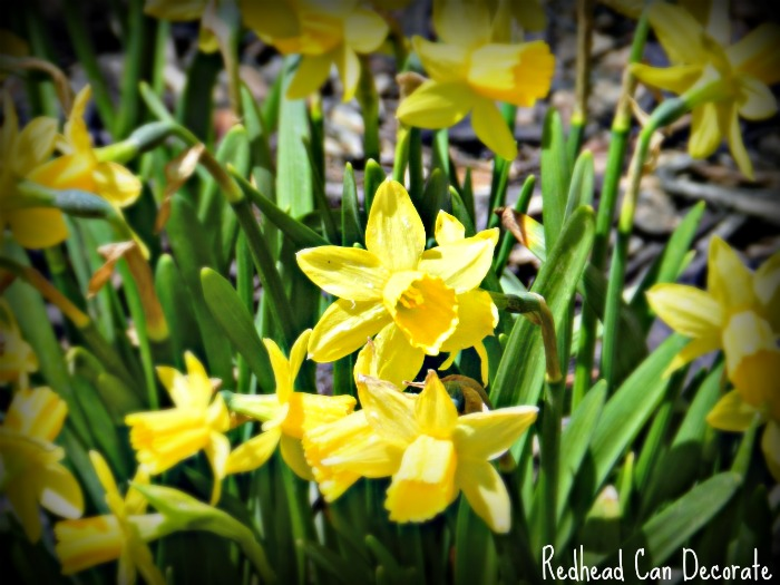 Daffodil Decor