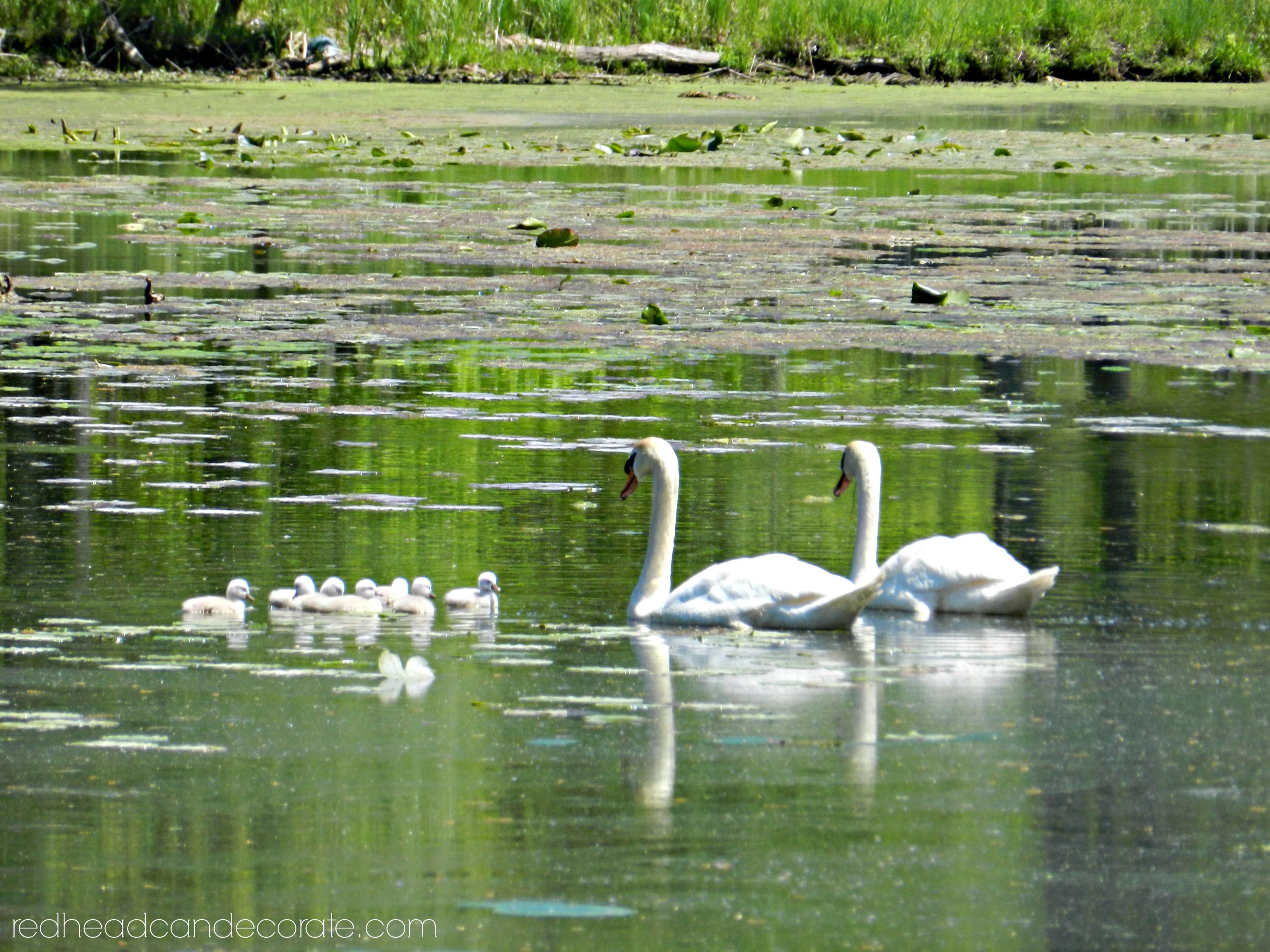 Swans Baby 2015