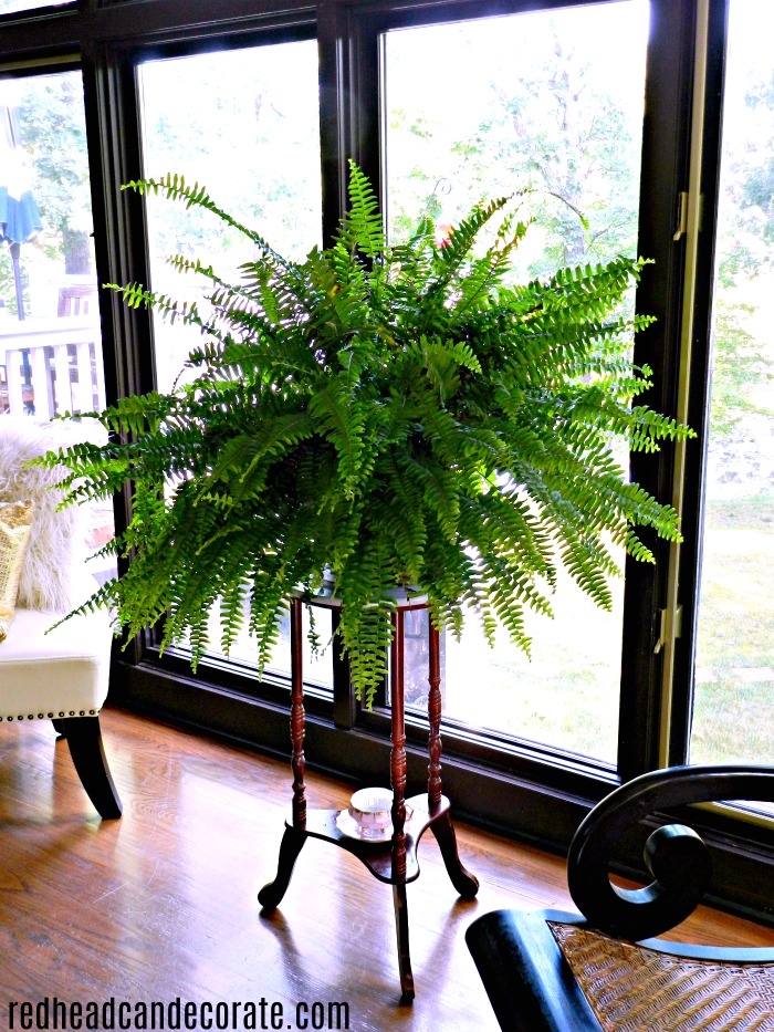 Indoor Fern Growing Tips Redhead Can Decorate