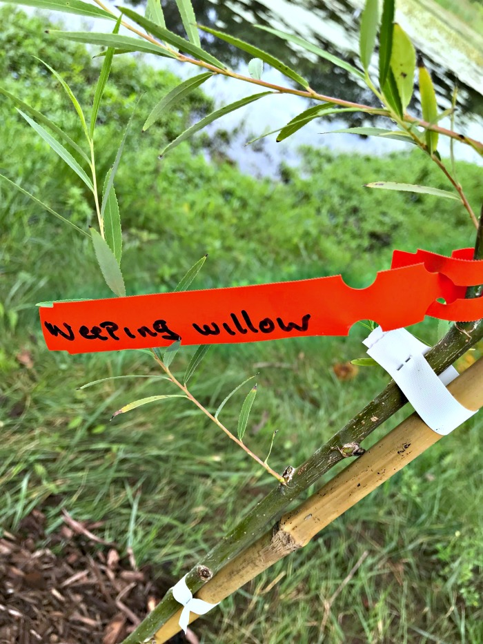 Weeping Willow Planting 101