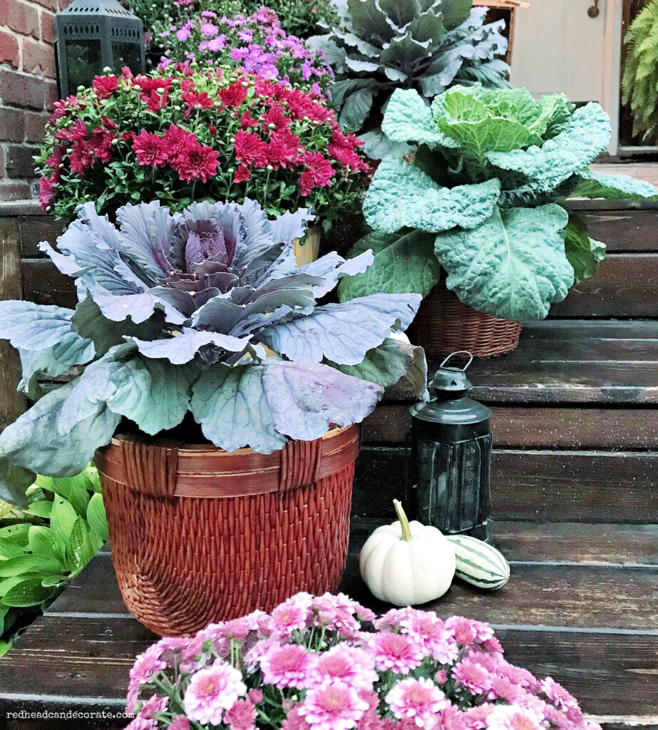Here's great tips on how to Combine Mums and Cabbage for Cascading Fall Steps